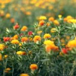 桶川 紅花祭り2017が開催されるって